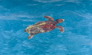 Sea turtles in Zakynthos
