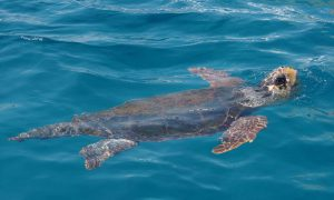 Sea turtle in Zakynthos